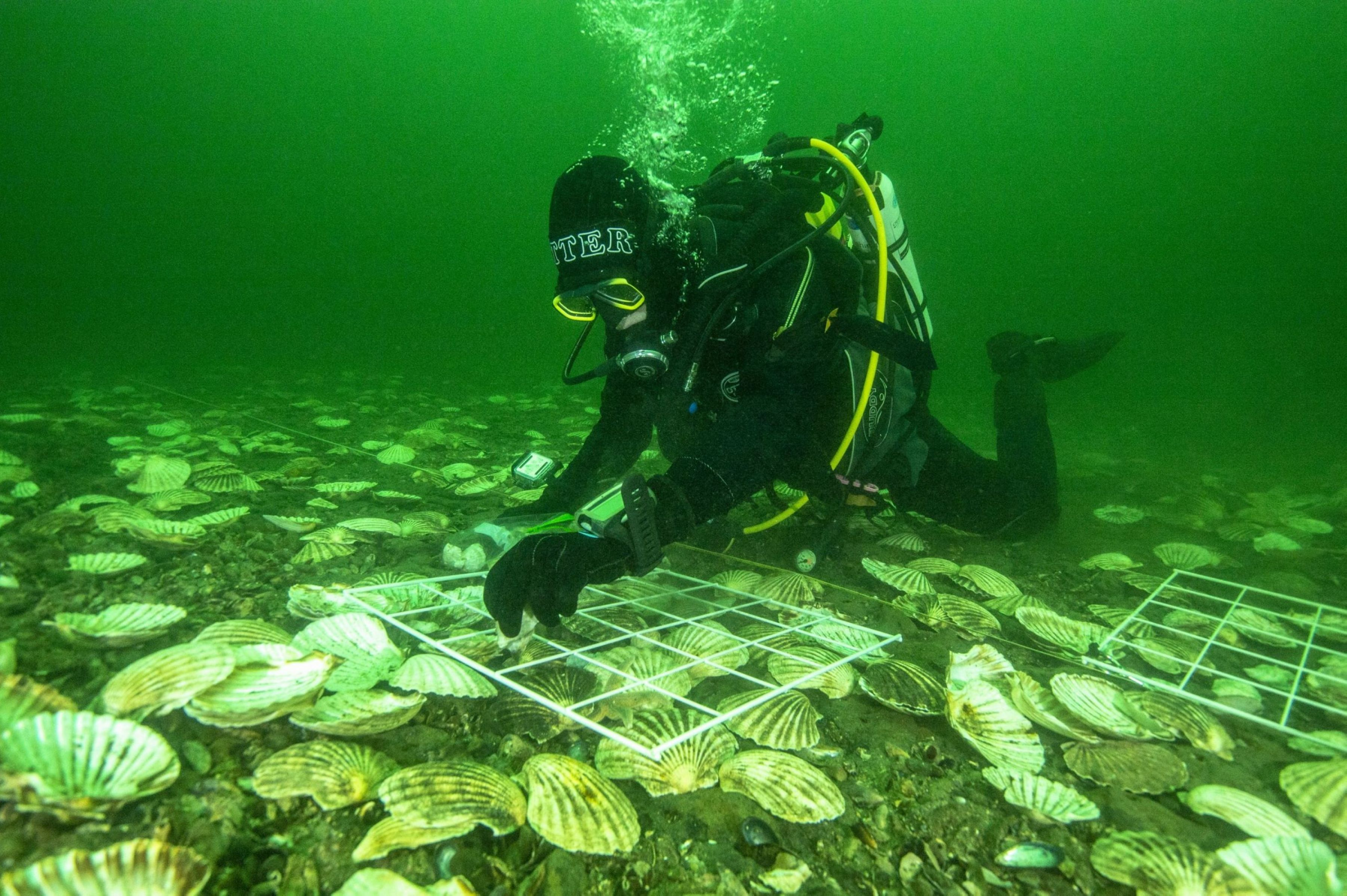 Glenmorangie's DEEP project lead scientist Dr Bill Sanderson carefully lays Native European Oysters on the bottom of the Dornoch Firth