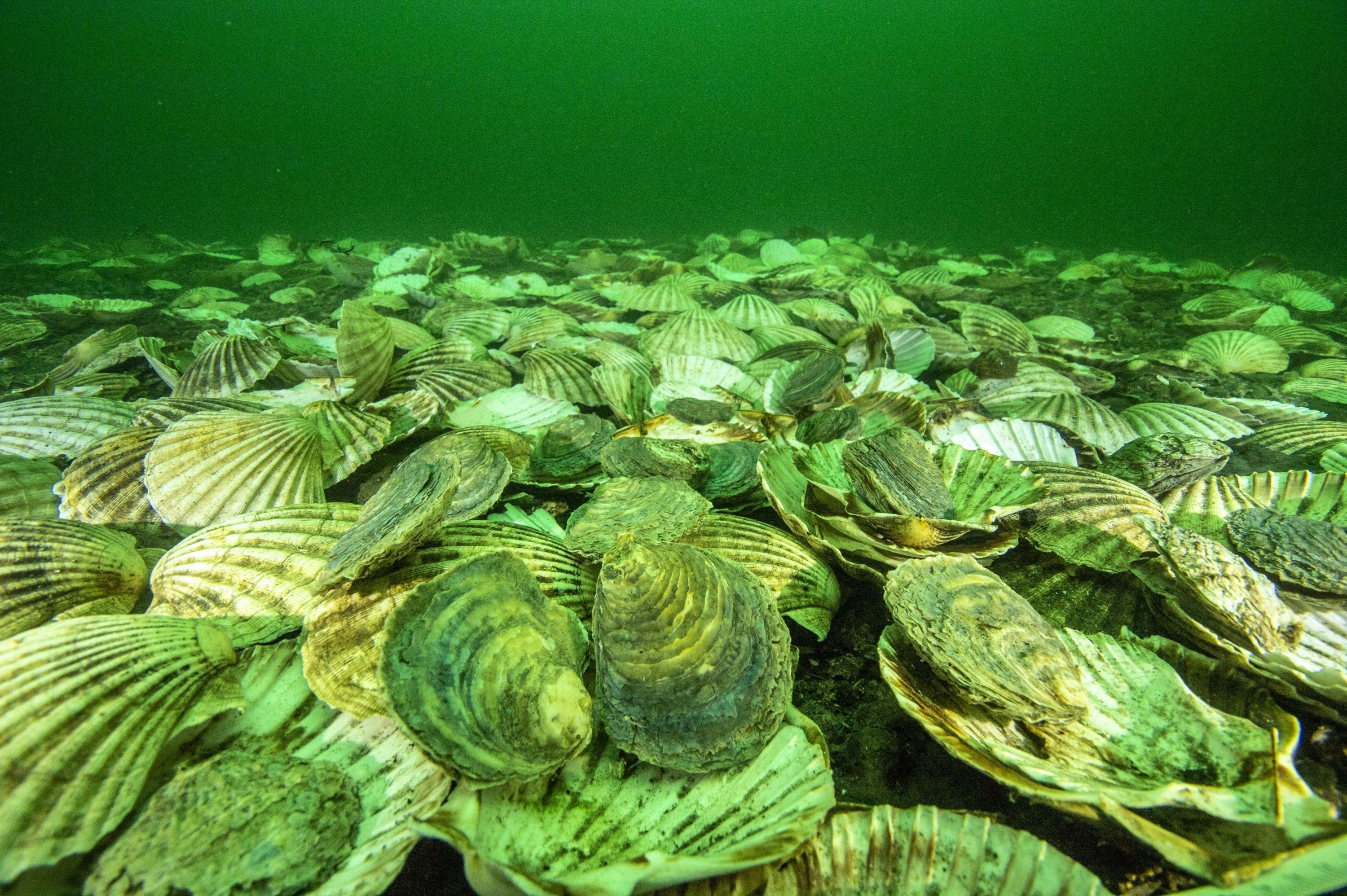 Native European Oysters settle in to their newly created home on the bottom of the Dornoch Firth